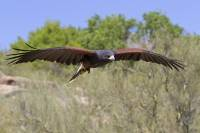 Raptor Free Flight