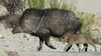 Javelinas: Our Desert Neighbors