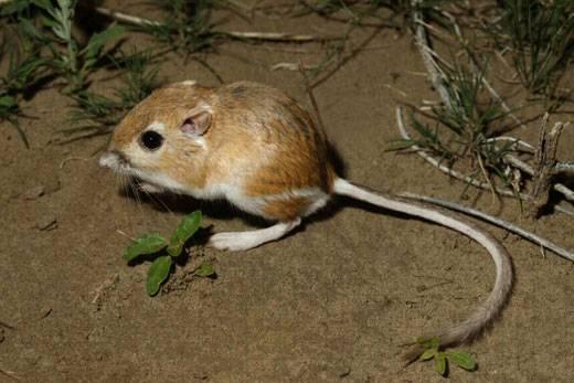 Kangaroo Rat: Super Survivor