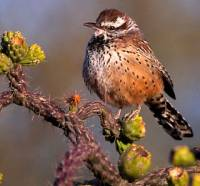 Birds of Tohono Chul