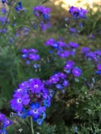 Wildflowers of Southern Arizona