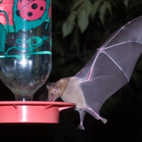 Who's Raiding Our Hummingbird Feeders at Night?